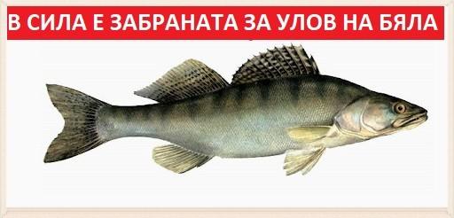 Забрана на бялата риба 2020г