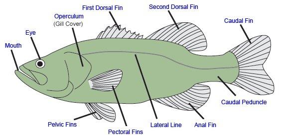 Риба външни органи
